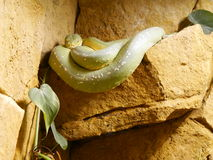 Περίεργο πράσινο φίδι Στοκ Φωτογραφία