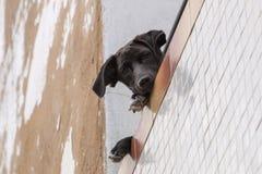 Περίεργο σκυλί στο μπαλκόνι Στοκ εικόνες με δικαίωμα ελεύθερης χρήσης