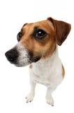 περίεργο σκυλί Στοκ Εικόνες