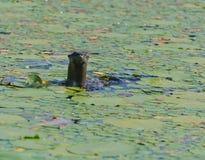 Περίεργο κεφάλι ενυδρίδων λιμνών στη λίμνη Στοκ εικόνα με δικαίωμα ελεύθερης χρήσης