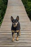 Περίεργο όμορφο σκυλί στην πορεία Στοκ Εικόνες