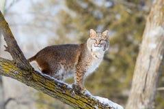 Περίεργο bobcat στο δέντρο Στοκ Εικόνες