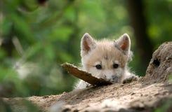 Περίεργο cub λύκων Στοκ Εικόνες