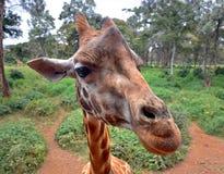 Περίεργο Giraffe επικεφαλής κινηματογράφηση σε πρώτο πλάνο με τη φύση Στοκ φωτογραφία με δικαίωμα ελεύθερης χρήσης