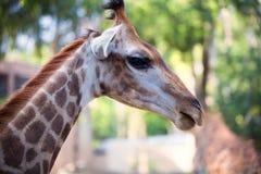 περίεργο giraffe πορτρέτο Στοκ εικόνες με δικαίωμα ελεύθερης χρήσης