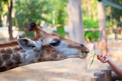 περίεργο giraffe πορτρέτο Στοκ φωτογραφίες με δικαίωμα ελεύθερης χρήσης