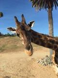 περίεργο giraffe Στοκ εικόνα με δικαίωμα ελεύθερης χρήσης