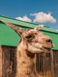 περίεργο giraffe Στοκ φωτογραφία με δικαίωμα ελεύθερης χρήσης
