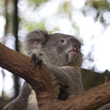 Περίεργο koala στο δέντρο Στοκ Φωτογραφία