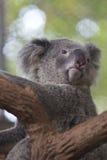 Περίεργο koala στο δέντρο Στοκ φωτογραφία με δικαίωμα ελεύθερης χρήσης
