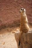 Περίεργο meercat σε ένα δέντρο Στοκ φωτογραφίες με δικαίωμα ελεύθερης χρήσης