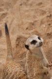 περίεργο meercat Στοκ φωτογραφίες με δικαίωμα ελεύθερης χρήσης