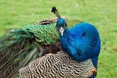 περίεργο peacock στοκ φωτογραφία με δικαίωμα ελεύθερης χρήσης