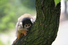 περίεργο squirrelmonkey Στοκ φωτογραφίες με δικαίωμα ελεύθερης χρήσης