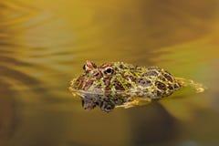 Περίκομψος κερασφόρος βάτραχος στα χρυσά νερά στοκ φωτογραφία με δικαίωμα ελεύθερης χρήσης