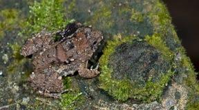 Περίκομψος στενός-ο βάτραχος, όμορφος βάτραχος, βάτραχος στους βράχους με το βρύο Στοκ Εικόνα