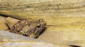 Περίκομψος στενός-ο βάτραχος, όμορφος βάτραχος, βάτραχος στο ξηρό φύλλο Στοκ Φωτογραφία