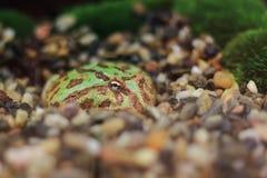 Περίκομψος pacman βάτραχος στοκ εικόνες