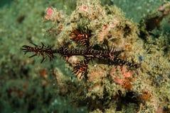 Περίκομψο φάντασμα pipefish σε Ambon, Maluku, υποβρύχια φωτογραφία της Ινδονησίας στοκ εικόνα με δικαίωμα ελεύθερης χρήσης