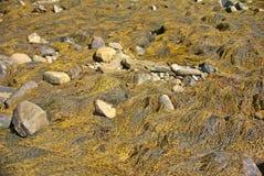 Περίληψη - κίτρινο & καφετί kelp στοκ εικόνες