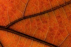Περίληψη φύσης: Κύτταρα και φλέβες ενός ζωηρόχρωμου φύλλου φθινοπώρου στοκ εικόνες