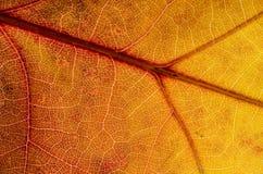 Περίληψη φύσης: Κύτταρα και φλέβες ενός ζωηρόχρωμου φύλλου φθινοπώρου στοκ φωτογραφίες