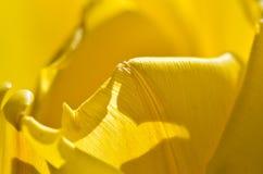 Περίληψη φύσης: Τυλιγμένος στις μαλακές χρυσές πτυχές των κίτρινων πετάλων τουλιπών Στοκ φωτογραφία με δικαίωμα ελεύθερης χρήσης
