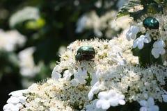 Περίοδος ζευγαρώματος στα έντομα στο υπόβαθρο ενός άσπρου λουλουδιού στοκ εικόνα με δικαίωμα ελεύθερης χρήσης