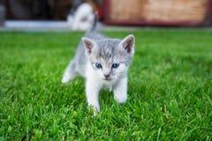 Περίπατοι γατών στη χλόη Στοκ Εικόνες