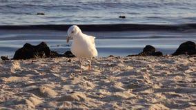 Περίπατοι γλάρων κατά μήκος της αμμώδους ακτής, χτυπήματα ενός φρέσκα αερακιού φιλμ μικρού μήκους