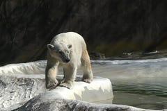 Περίπατοι πολικών αρκουδών φιλμ μικρού μήκους
