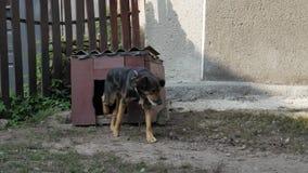Περίπατοι σκυλιών από τον ξύλινο θάλαμό του Σκυλί φρουράς σε μια αλυσίδα στο χωριό φιλμ μικρού μήκους