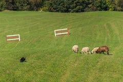 Περίπατοι σκυλιών προβάτων επάνω στα πρόβατα Ovis aries Στοκ Εικόνα