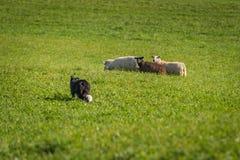 Περίπατοι σκυλιών αποθεμάτων επάνω στην ομάδα προβάτων & x28 Ovis aries& x29  Στοκ Φωτογραφία