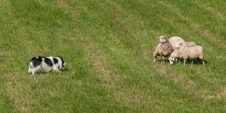 Περίπατοι σκυλιών βοσκής προς την ομάδα προβάτων Ovis aries Στοκ Φωτογραφίες