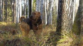 Περίπατοι τεριέ Airedale φυλής σκυλιών στα ξύλα απόθεμα βίντεο