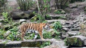 Περίπατοι τιγρών γύρω από τη μάνδρα στο ζωολογικό κήπο απόθεμα βίντεο