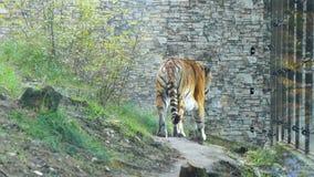Περίπατοι τιγρών στην περίφραξη του ζωολογικού κήπου απόθεμα βίντεο