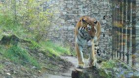 Περίπατοι τιγρών στην περίφραξη του ζωολογικού κήπου φιλμ μικρού μήκους