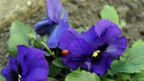 Περίπατοι Ladybug κινηματογραφήσεων σε πρώτο πλάνο στο λουλούδι Viola Tricolor με το πράσινο φύλλωμα απόθεμα βίντεο