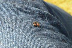 Περίπατοι Ladybug στο τζιν Στοκ εικόνα με δικαίωμα ελεύθερης χρήσης
