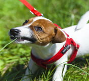 Περίπατος αστείο στο χαριτωμένο πάρκων λίγο λουρί σκυλιών - λουρί Στοκ φωτογραφία με δικαίωμα ελεύθερης χρήσης