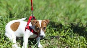 Περίπατος αστείο στο χαριτωμένο πάρκων λίγο λουρί σκυλιών - λουρί Στοκ εικόνα με δικαίωμα ελεύθερης χρήσης