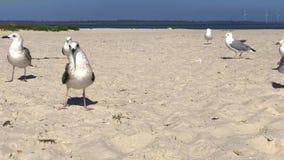 Περίπατος γλάρων κατά μήκος της αμμώδους παραλίας στην ακτή Μαύρης Θάλασσας απόθεμα βίντεο