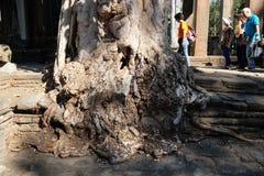 Περίπατος διάφορων ασιατικός τουριστών γύρω από ένα παλαιό δέντρο σε ένα ιστορικό πάρκο Ένας αρχαίος που ακρωτηριάζεται στοκ φωτογραφία με δικαίωμα ελεύθερης χρήσης