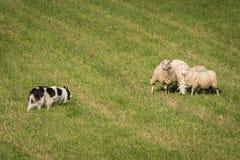 Περίπατος επάνω της βοσκής του σκυλιού στην ομάδα προβάτων & x28 Ovis aries& x29  Στοκ εικόνες με δικαίωμα ελεύθερης χρήσης