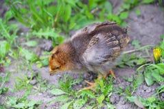 Περίπατος κοτόπουλου μωρών στη χλόη στοκ φωτογραφία με δικαίωμα ελεύθερης χρήσης