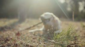 Περίπατος με ένα δάσος σκυλιών την άνοιξη φιλμ μικρού μήκους