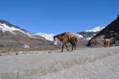 Περίπατος μουλαριών στο βουνό. Στοκ εικόνα με δικαίωμα ελεύθερης χρήσης