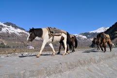 Περίπατος μουλαριών στο βουνό. Στοκ φωτογραφία με δικαίωμα ελεύθερης χρήσης